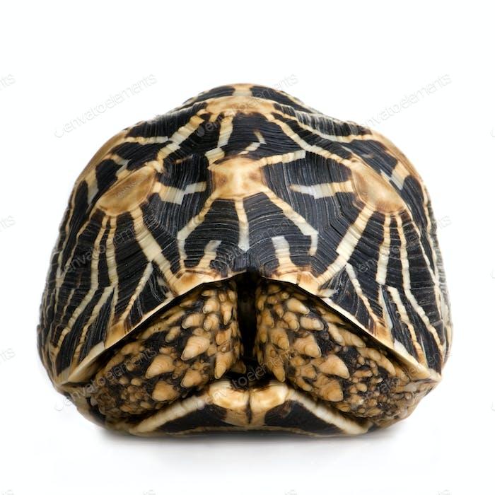 Indian Starred Tortoise - Geochelone elegans