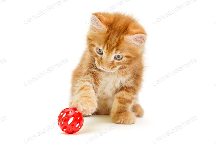 Small Maine Coon kitten plays with a red ball