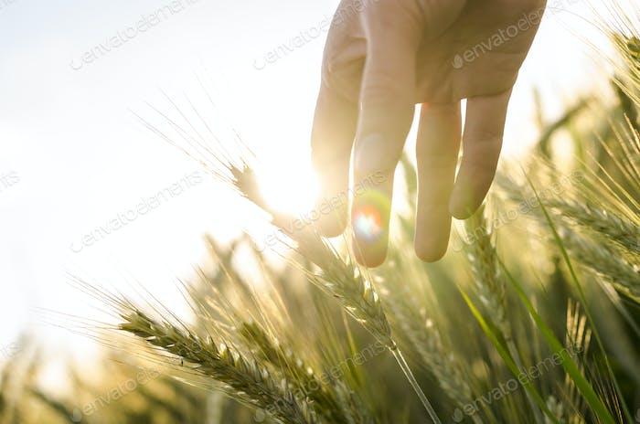 Farmer hand touching wheat ears