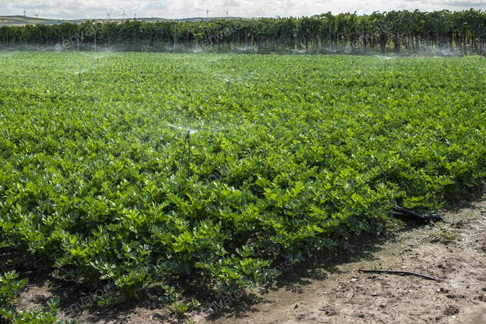 Plantations with celery in the field. Industrial growing celery
