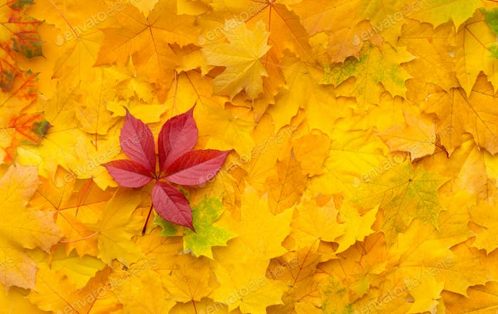Bright fallen red maple leaf on autumn yellow background