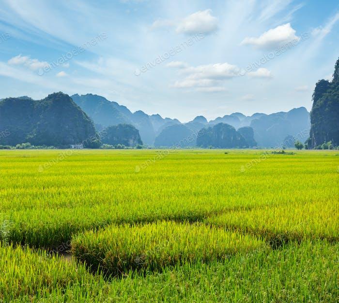 Rice field. Mui Ne