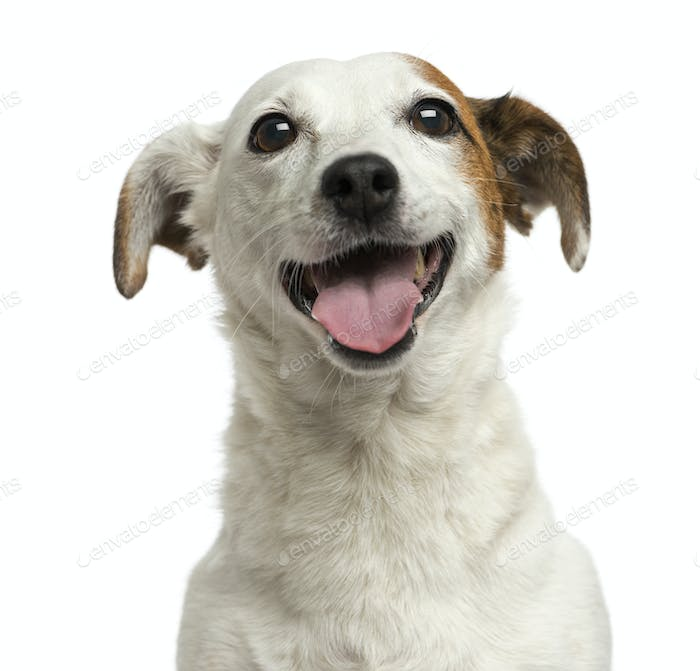 Close-up of a Jack Russell Terrier panting, 6 years old, isolated on white