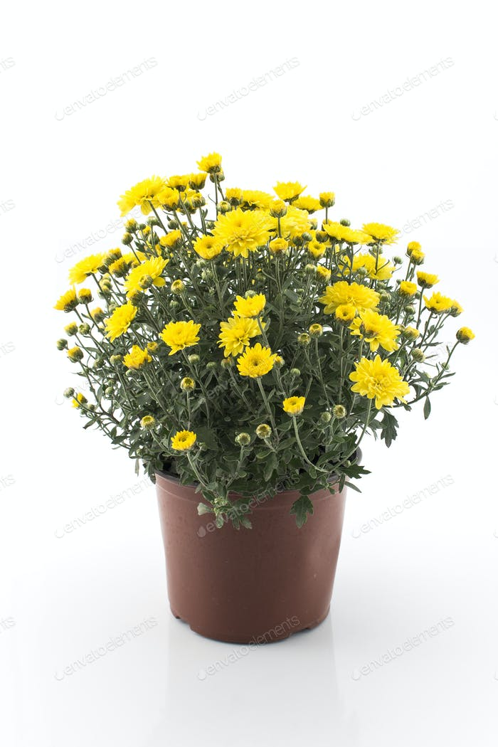 Gelber Chrysantheme Topf