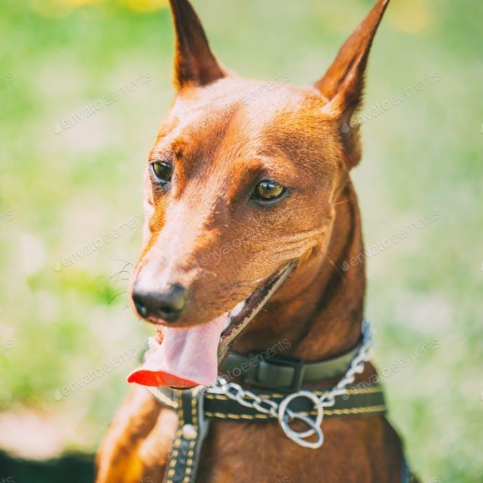 Dog Miniature Pinscher, Zwergpinscher, Min Pin, Head