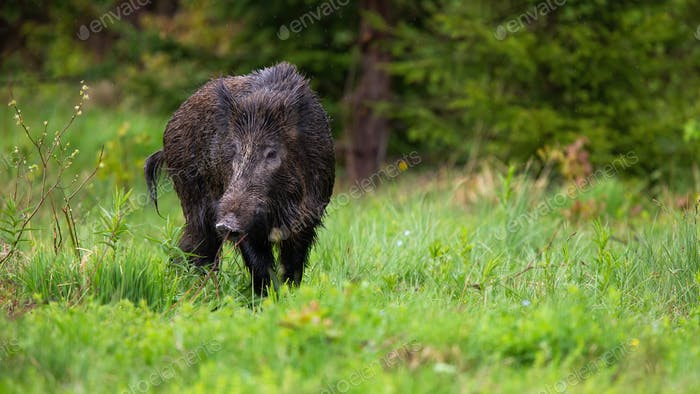 Adult wild boar, sus scrofa, showing tail while grazing on the green clearing