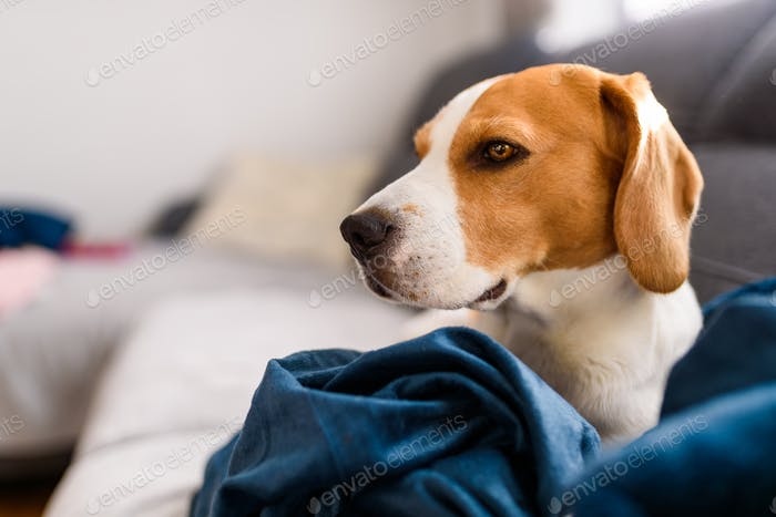 Beagle dog sad eyes big nose. Portrait, Copy space