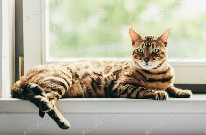 Relaxed Bengal cat lying on a window sill