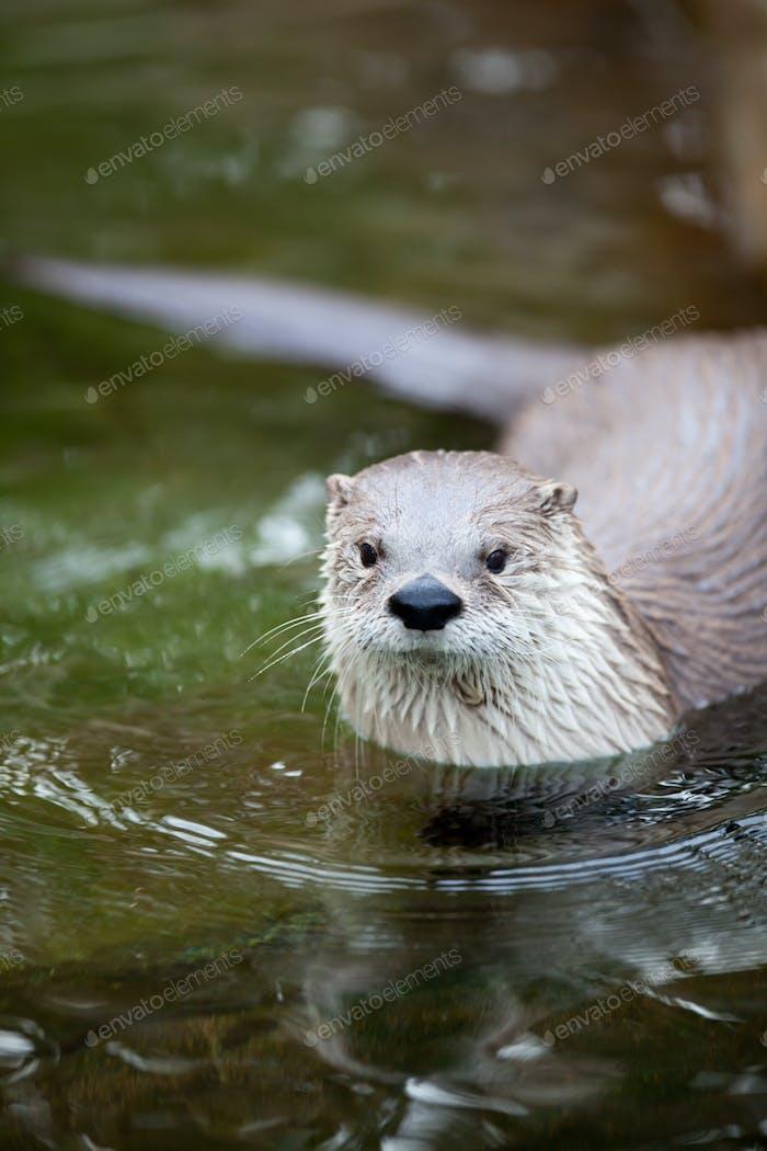 Europäischer Otter (Lutra lutra), auch bekannt als Eurasischer Otter, Eura