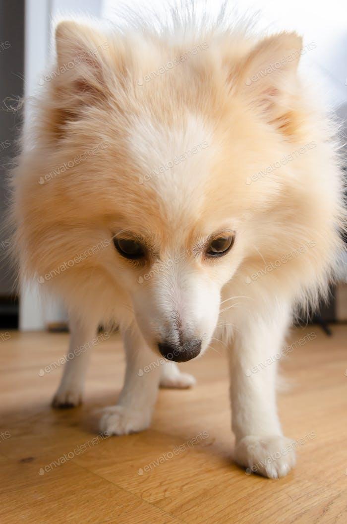 Fluffy pomeranian dog on wooden floor portrait