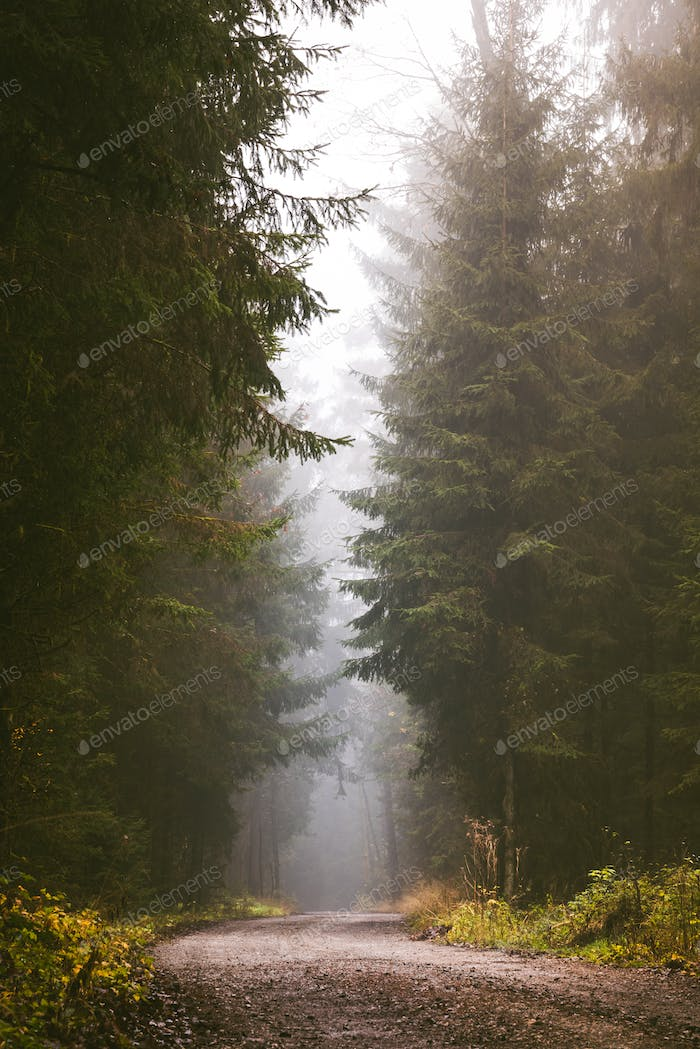 Path through a pine forest on misty autumn day.