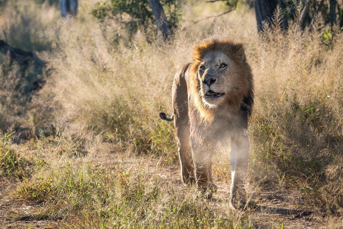 A male lion, Panthera leo, walks towards the camera, looking out of sight, mouth open, steam from