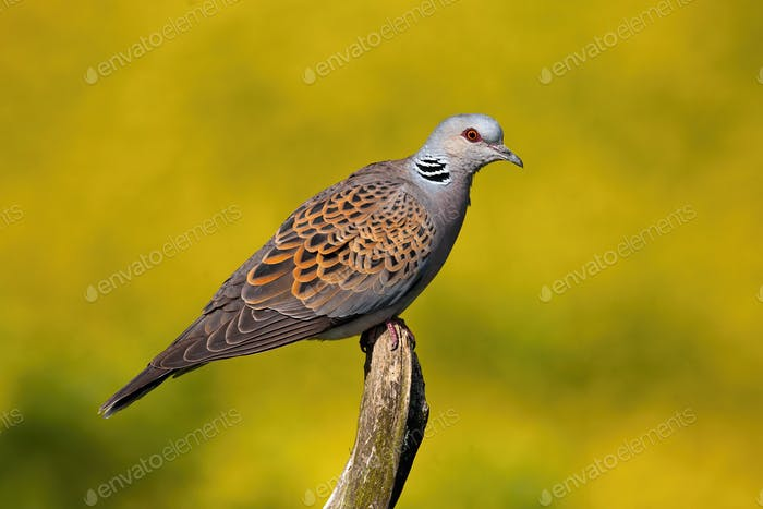 European turtle dove sitting on bough in summer nature