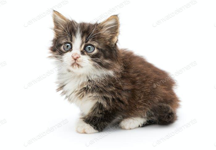 Little fluffy kitten