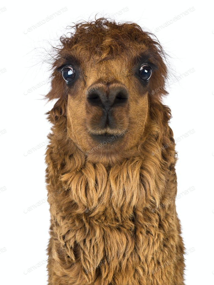 Front view Close-up of Alpaca against white background