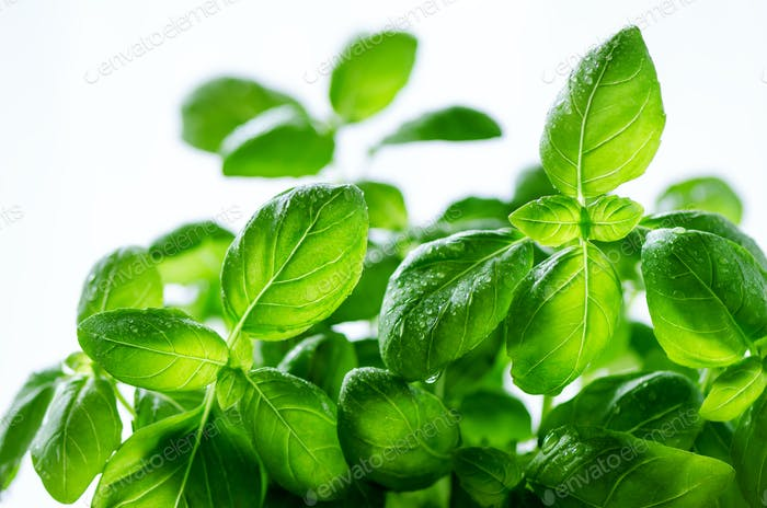Fresh basil leaves, herb with water drops and sunlight on white background. Macro. Close up. Copy