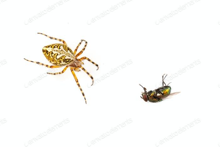 Kreuz Spinne und fliegen auf einem weißen Hintergrund