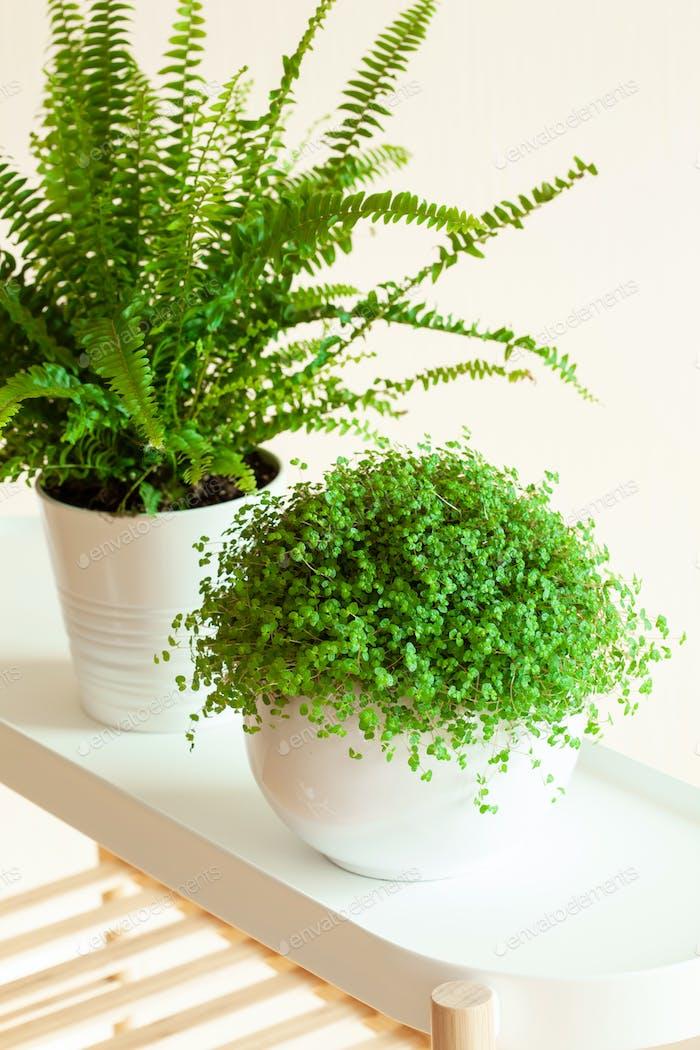 houseplants Nephrolepis, Soleirolia soleirolii in white flowerpo