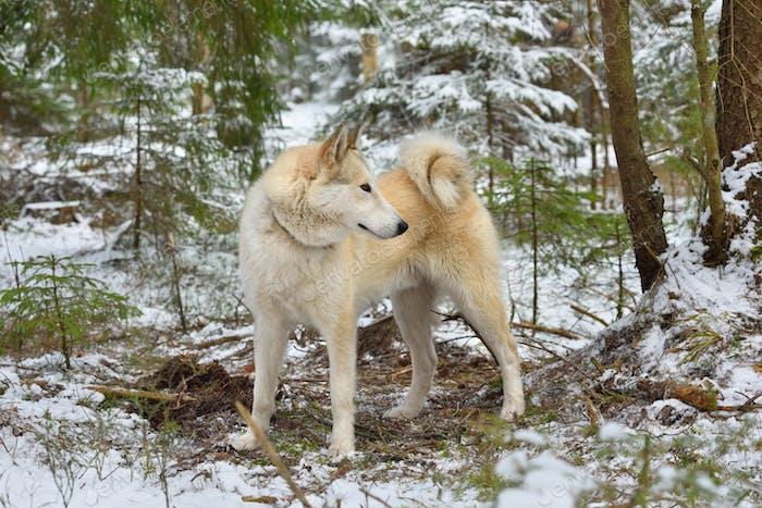 Whiter West Siberian Laika