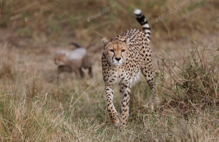 CHEETAH IN THE WILD, AFRICA