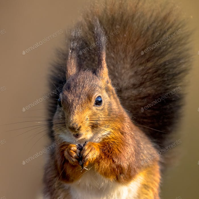Red squirrel eating portrait