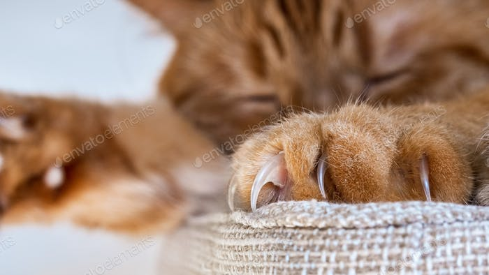 Close up of large claws visible on one of the front paws of a large orange cat sleeping on a chair;