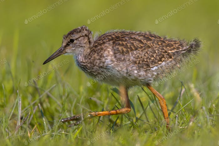 Black-tailed Godwit wader bird chick running
