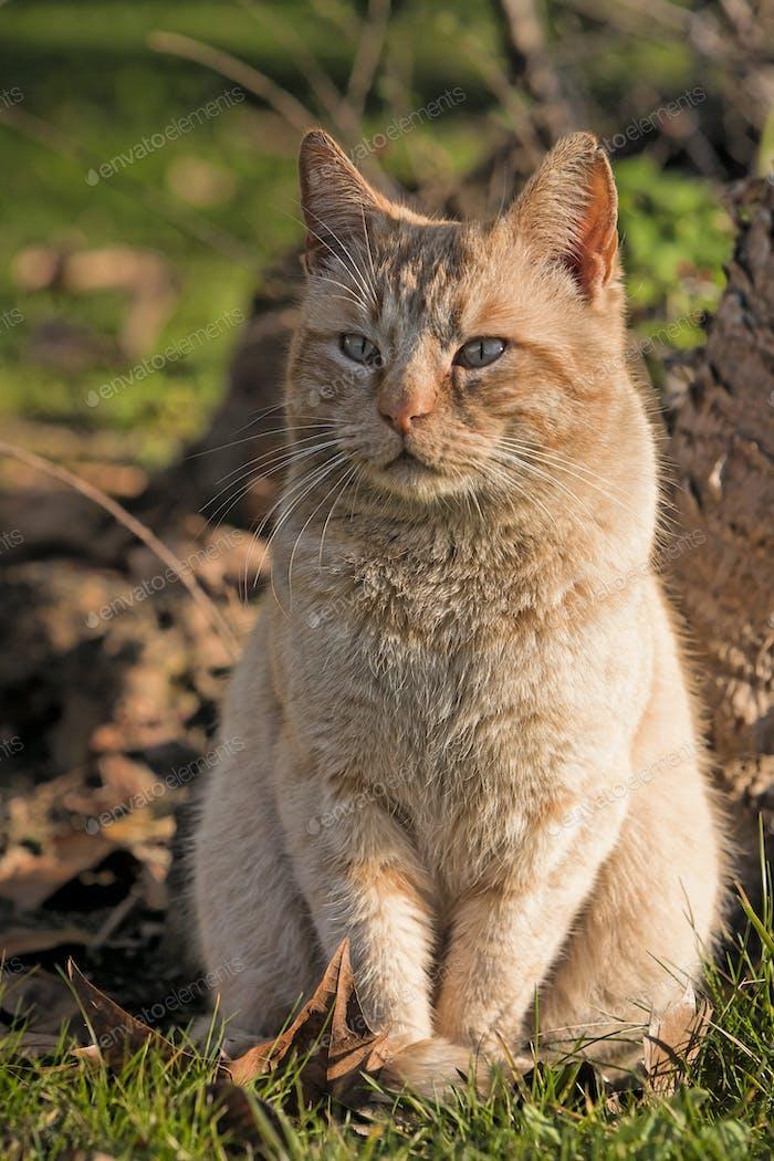 little orange cat outside