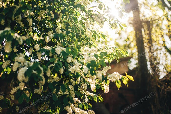 schöne Vogel-Kirschblüten im Sonnenlicht Morgen im sonnigen Park