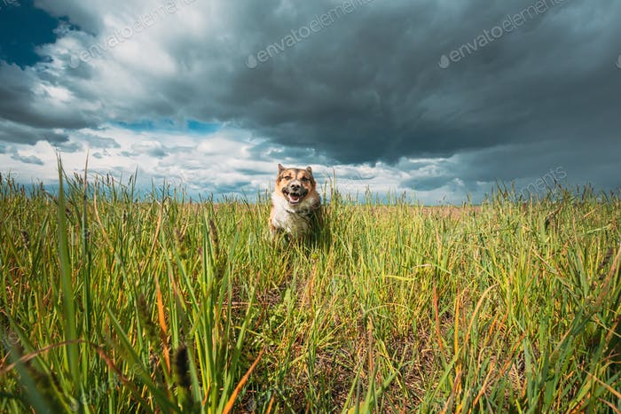 Angry Aggressive Mad Dog Running Outdoors In Green Meadow On Camera