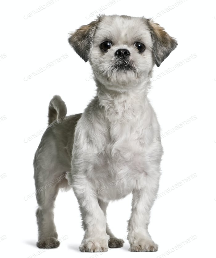 Shih Tzu, 3 years old, standing in front of white background