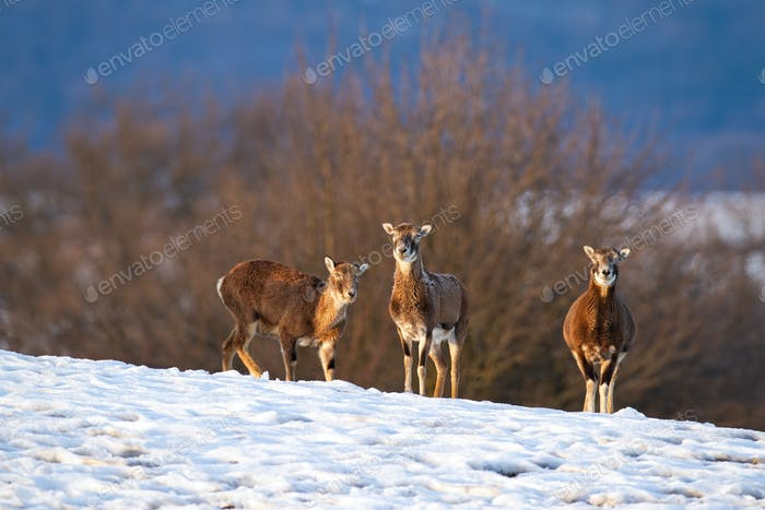 Mouflon family standing and watching in wintertime