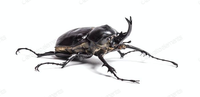 Escarabajo de Actaeon, Megasoma actaeon, un escarabajo de rinoceronte, frente al fondo blanco