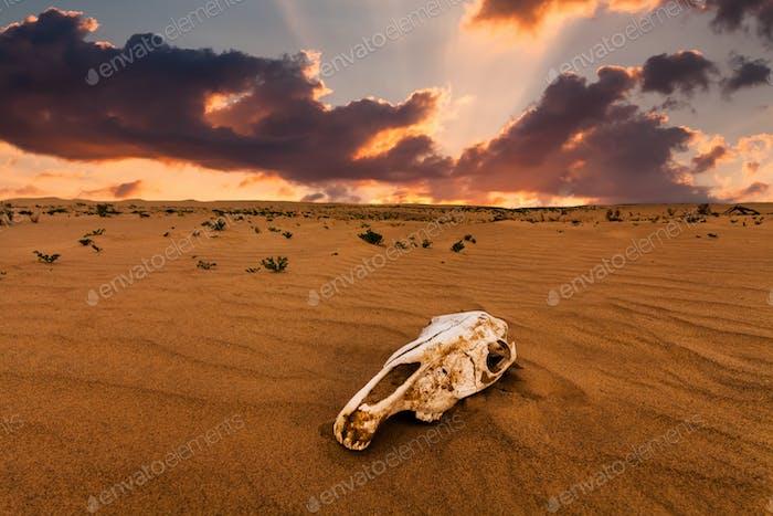 Schädel eines Tieres in der Sandwüste bei Sonnenuntergang