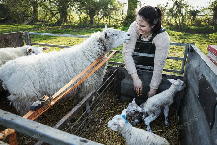 Woman standing beside a trailer with two ewes and three newborn lambs.