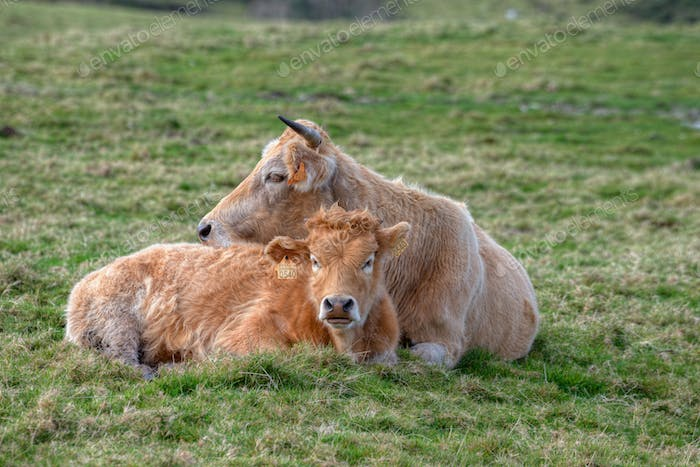 A cow and its calf lying in the grass