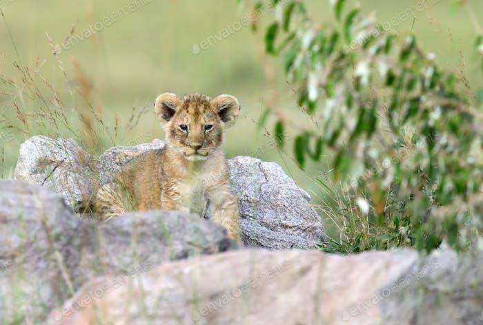 Afrikanisches Löwenjunges