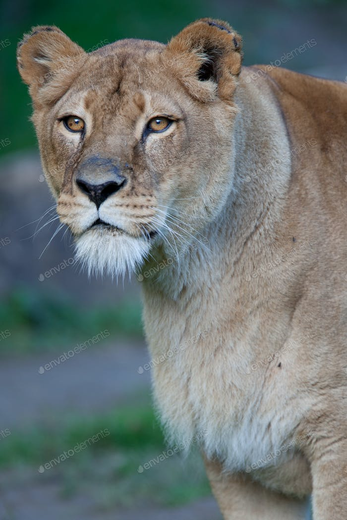 Close-up portrait of a majestic lioness (Panthera Leo)