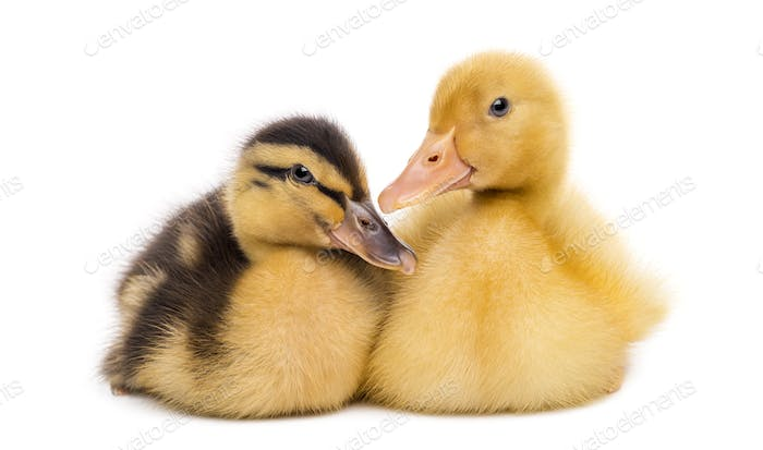 Two Ducklings (7 days old) isolated on white