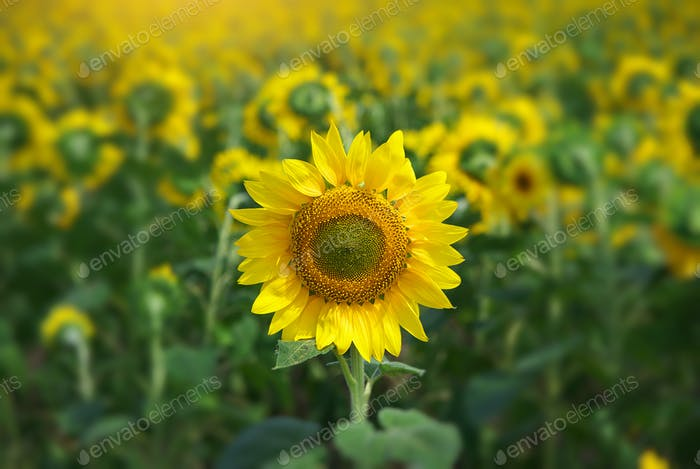 Sunflower portrait.