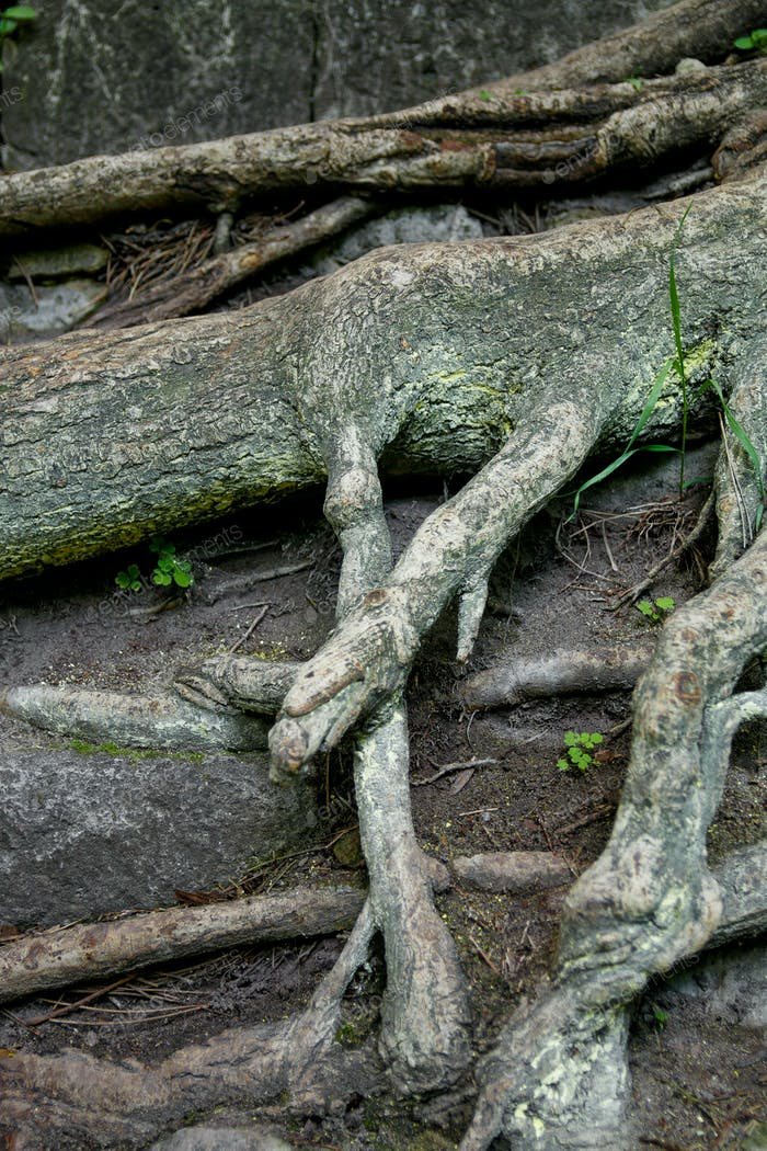 Tree root and moss background in the wood. Old. Close up.