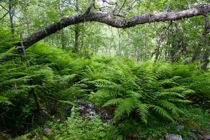 Lush norvegian forest