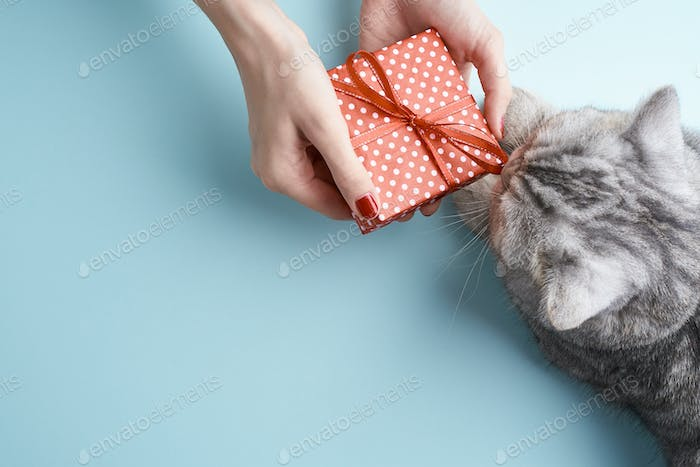 scottish straight cat sniffing ribbon on red gift, aquamarine background, copy space