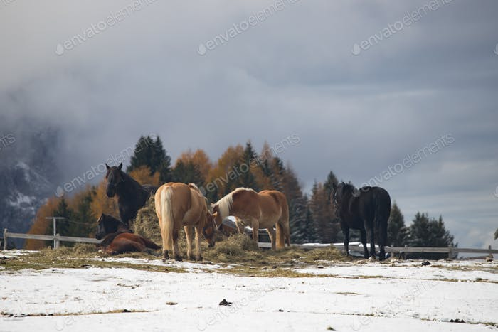 Horses at Seiser Alm, South Tyrol, Italy
