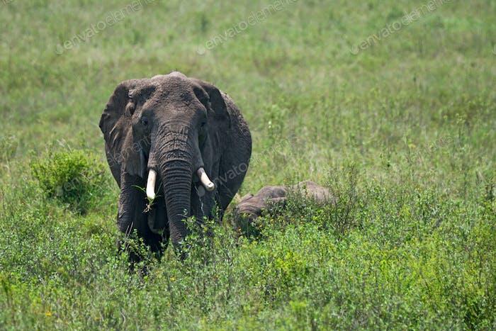 Female African elephant with a cub