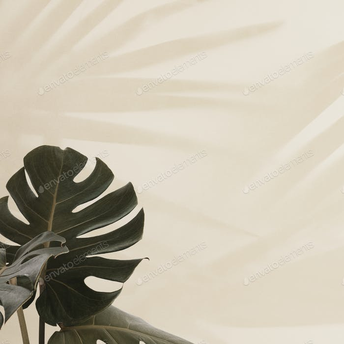Tropical Monstera leaves with palm leaves shadow