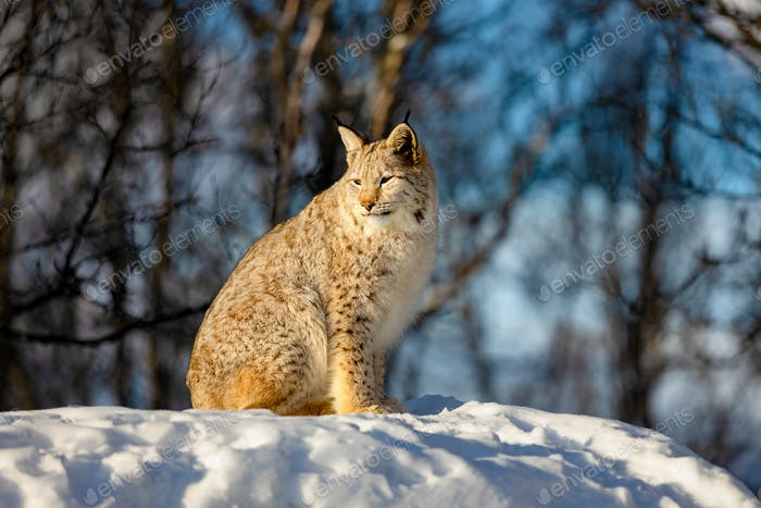 Lynx sitting on snow while looking away in nature