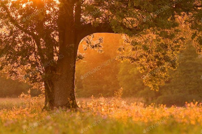 Nature background - tree at sunset