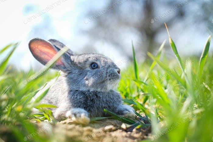 Small grey rabbit in green grass closeup