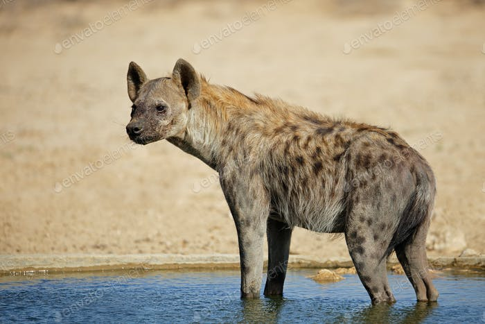 Spotted hyena in water